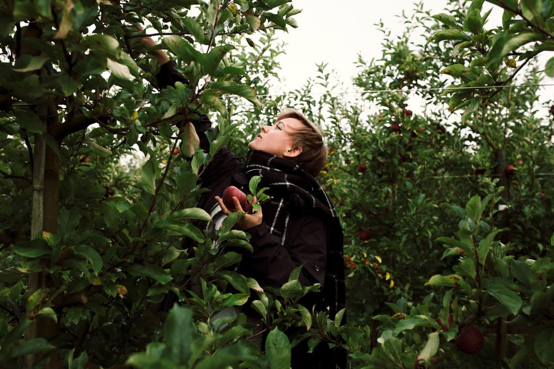 Äpfelpflücken auf dem Herzapfelhof