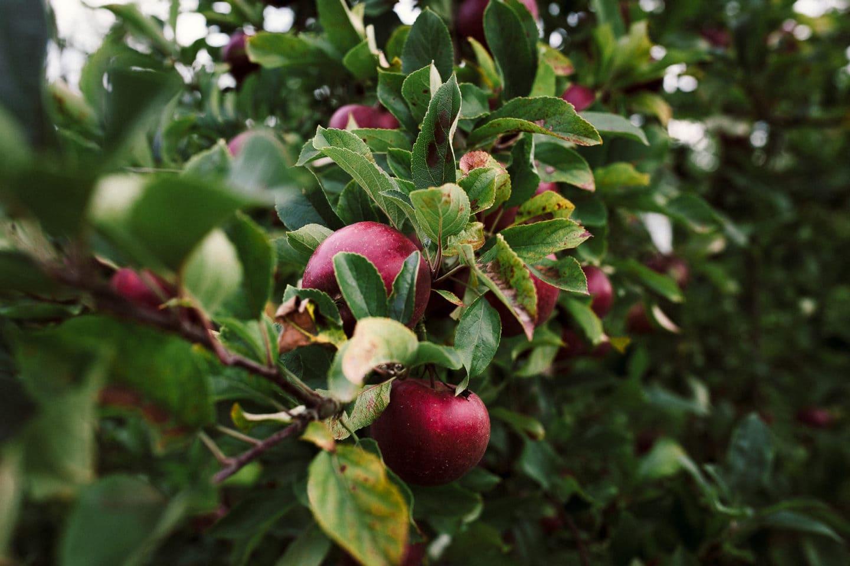 Ast mit Äpfeln
