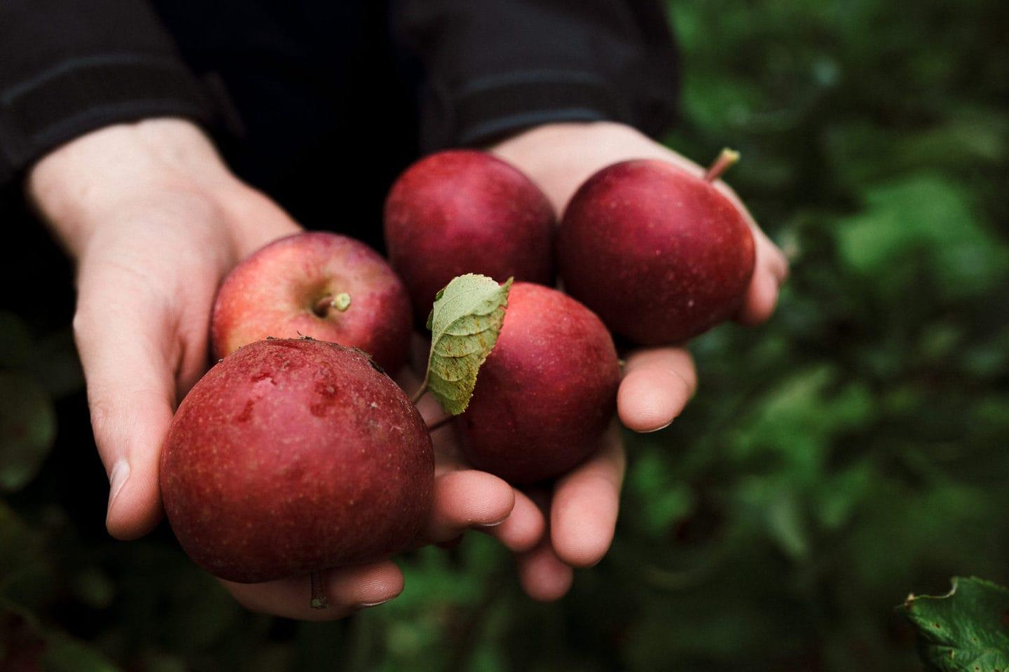 gesammelte Äpfel auf dem Herzapfelhof